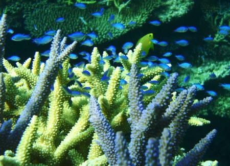 サンゴと幼魚